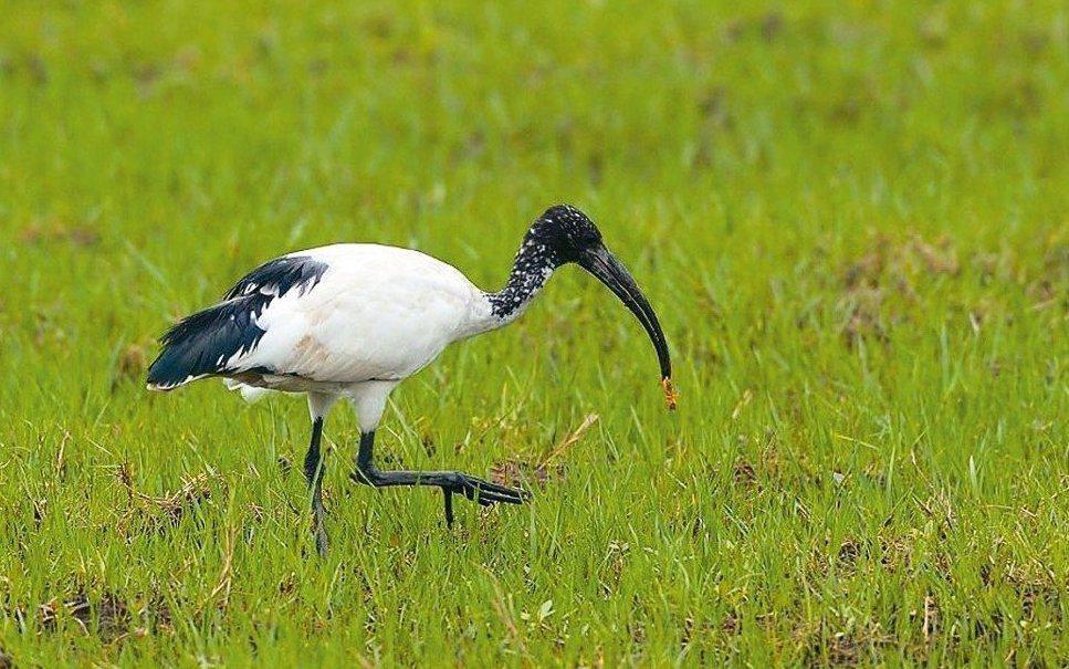 外來鳥種埃及聖鹮族群對本土其他鷺科鳥類棲地生態造成壓力。圖/鳥友提供