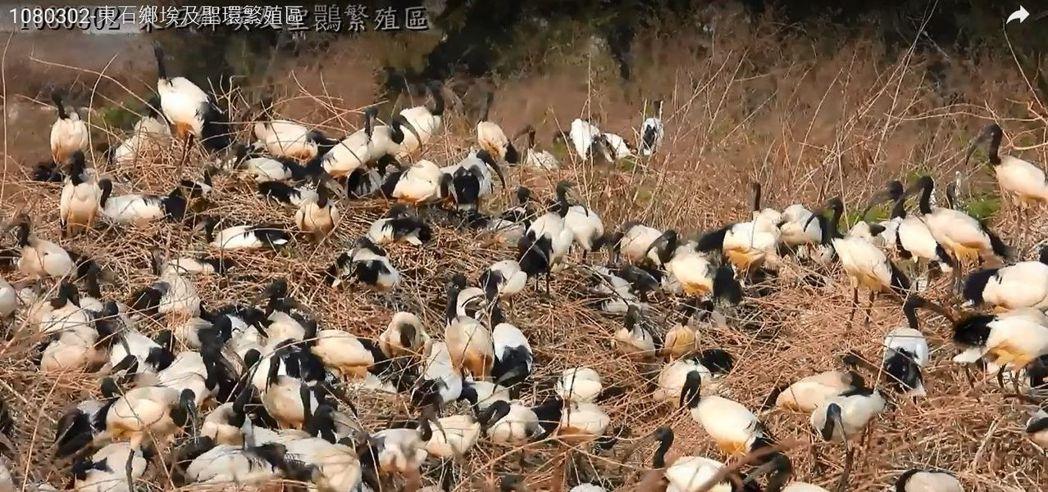 埃及聖䴉比常見白鷺鷥體型大,會對部分物種造成危害。圖/陳建樺提供