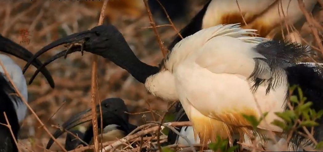 埃及聖䴉比常見白鷺鷥體型大。圖/陳建樺提供