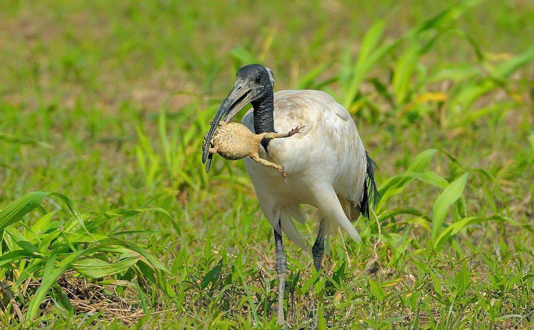 埃及聖䴉比常見白鷺鷥體型大,嘴喙像「死神鐮刀」般彎曲,有極強適應能力及大食量,會...