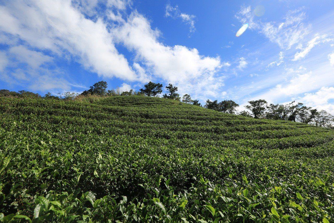 坪林有茶鄉之稱,農民財富驚人。本報資料照片 記者祁容玉/攝影