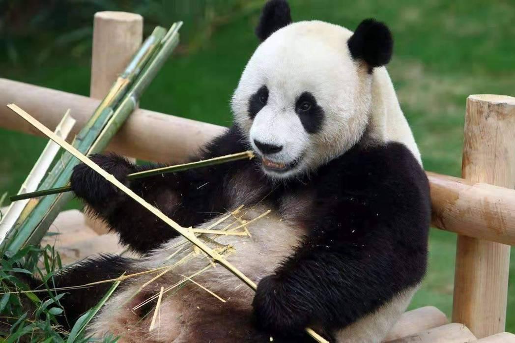 高雄市長韓國瑜昨證實大陸的確有提到要送貓熊來高雄,但他要先徵得高雄市議會同意。 ...