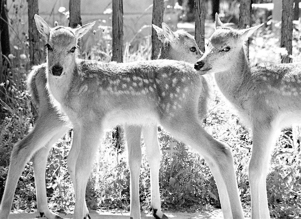 圖為1998年北京南郊一群復育的麈鹿,其又稱「大衛神父鹿」,是為紀念法籍傳教士P...