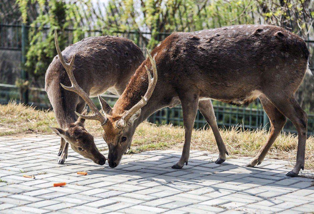 2011年台灣贈送大陸的一對梅花鹿和一對長鬃山羊,入住大陸威海劉公島新家。圖為台...