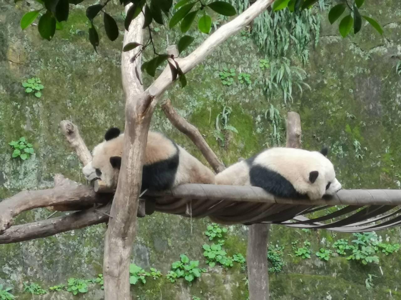 貓熊要來高雄。圖/高雄市壽山動物園提供