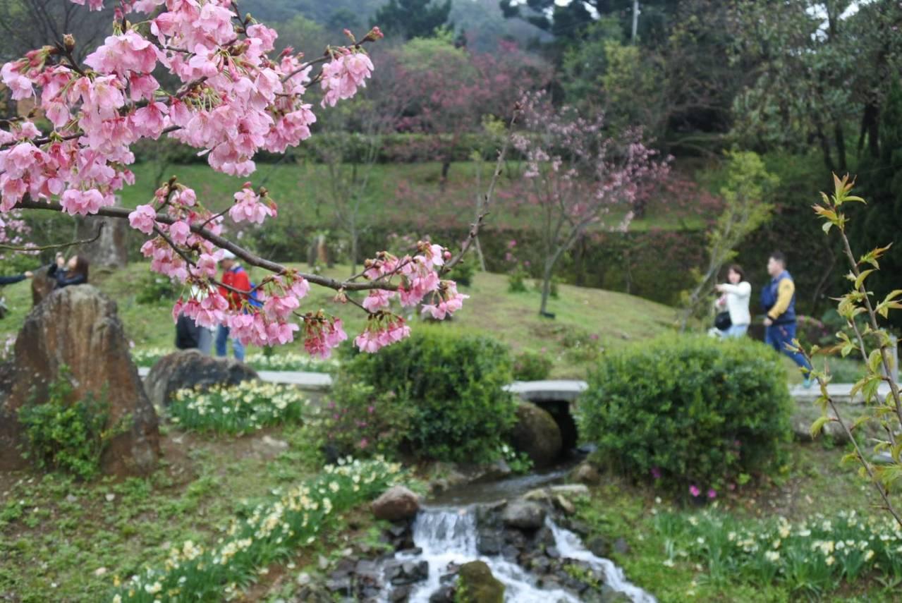 陽明山國家公園接下來由吉野櫻接力登場。圖/台北市政府工務局公園處提供