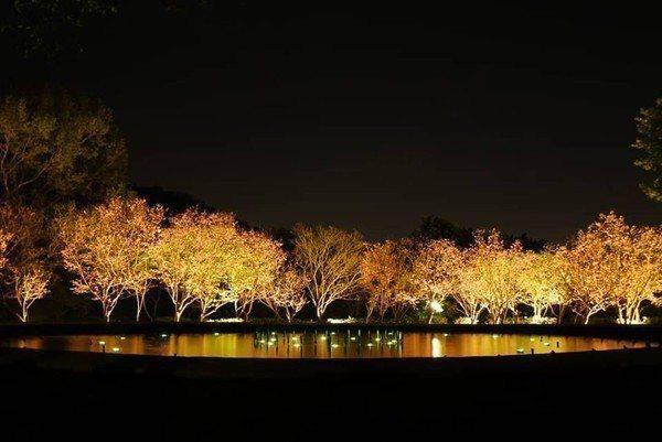 夜櫻別有一番風味。圖/台北市政府工務局公園處提供