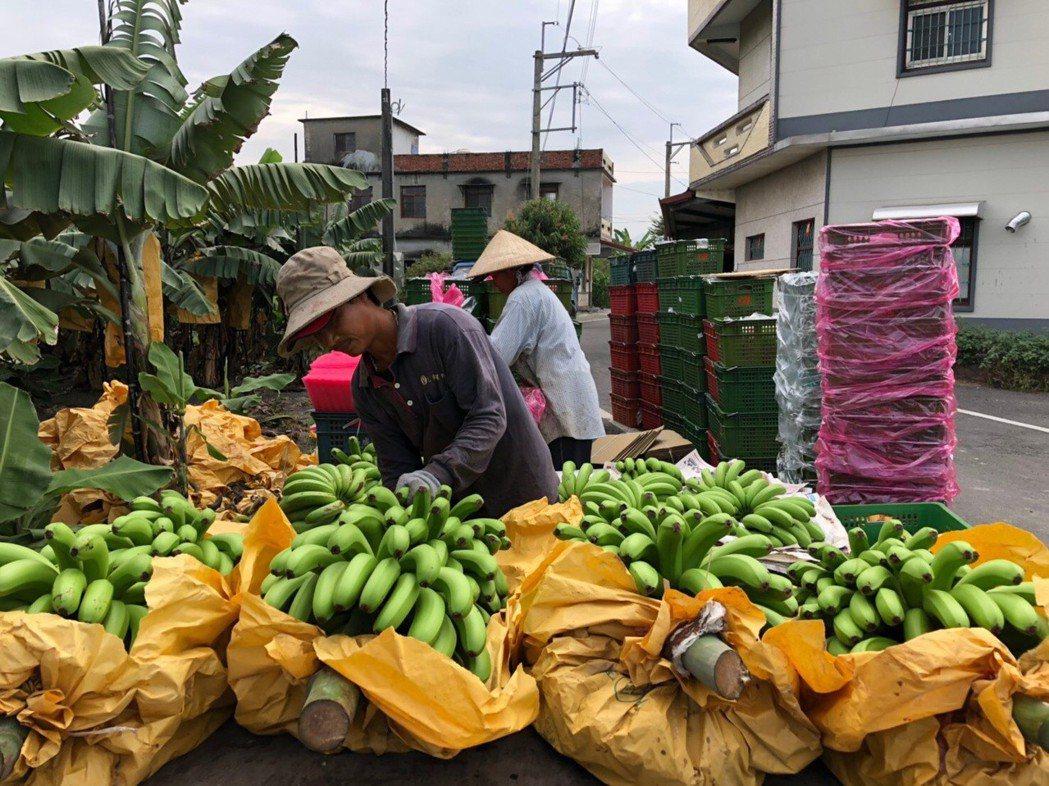 高雄旗美地區自民國50年代開始,就有「香蕉王國」的美譽。東森購物/提供
