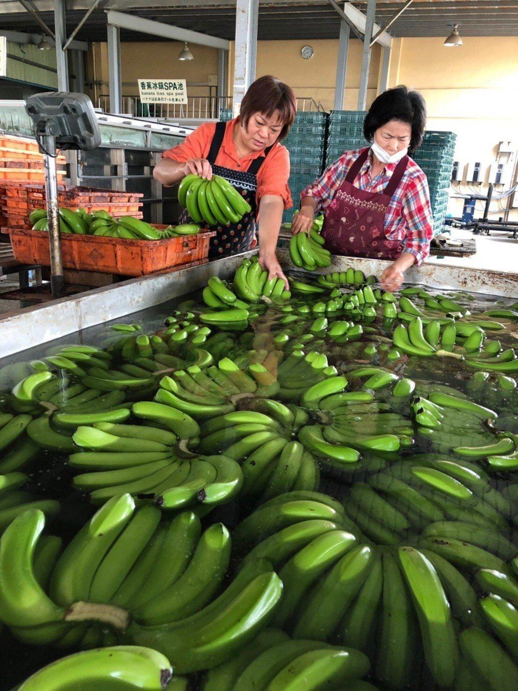 客家小鎮美濃所生產的優質香蕉,符合外銷等級。東森購物/提供