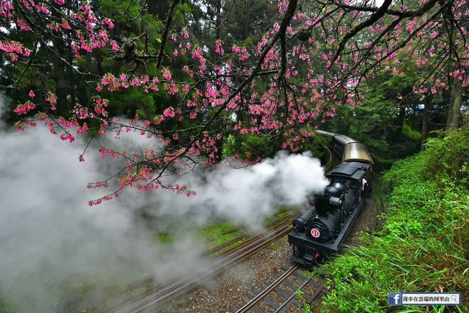 阿里山花季期間每周三有蒸氣火車頭和檜木車廂。圖/黃源明提供