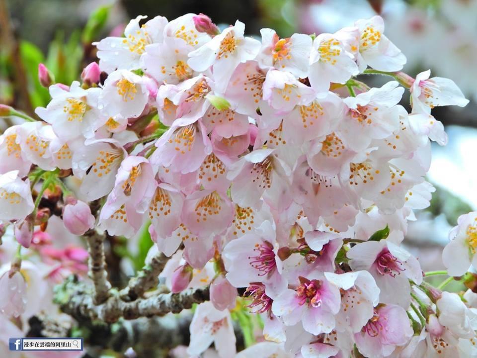 阿里山櫻王是染井吉野櫻。圖/黃源明提供