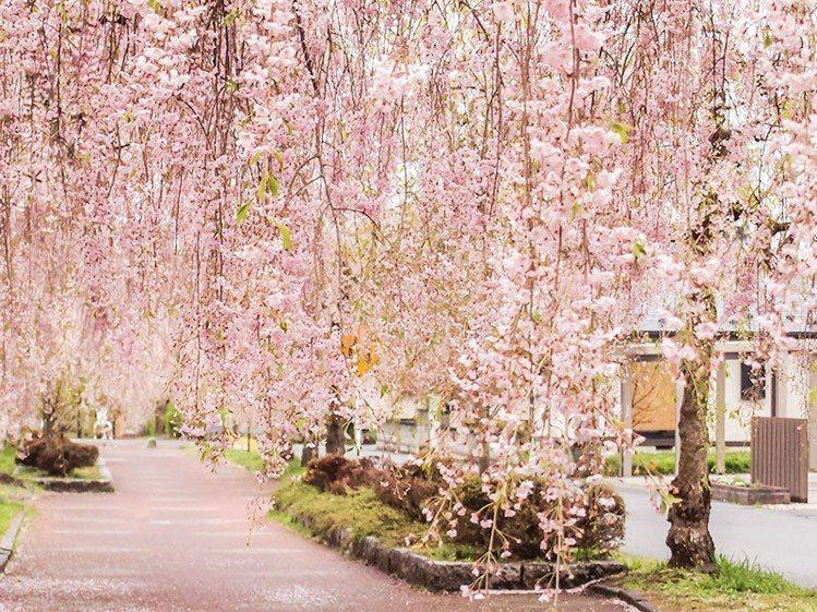 日本弘前城的粉紅櫻花河。圖/易遊網提供