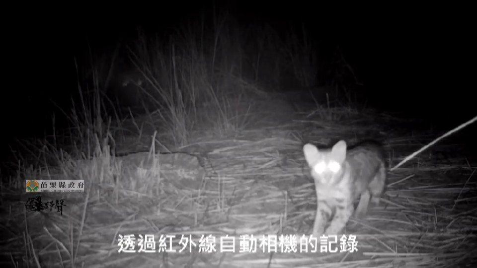 「苗栗縣大尺度之路殺風險評估」計畫在卓蘭鎮石虎公園東南邊所架設2部相機,監測到石...