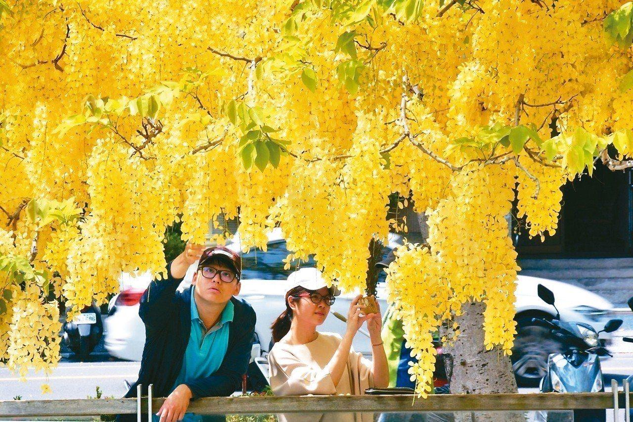 春夏之際,高雄市街頭開滿金黃色的阿勃勒。 圖/高市工務局提供
