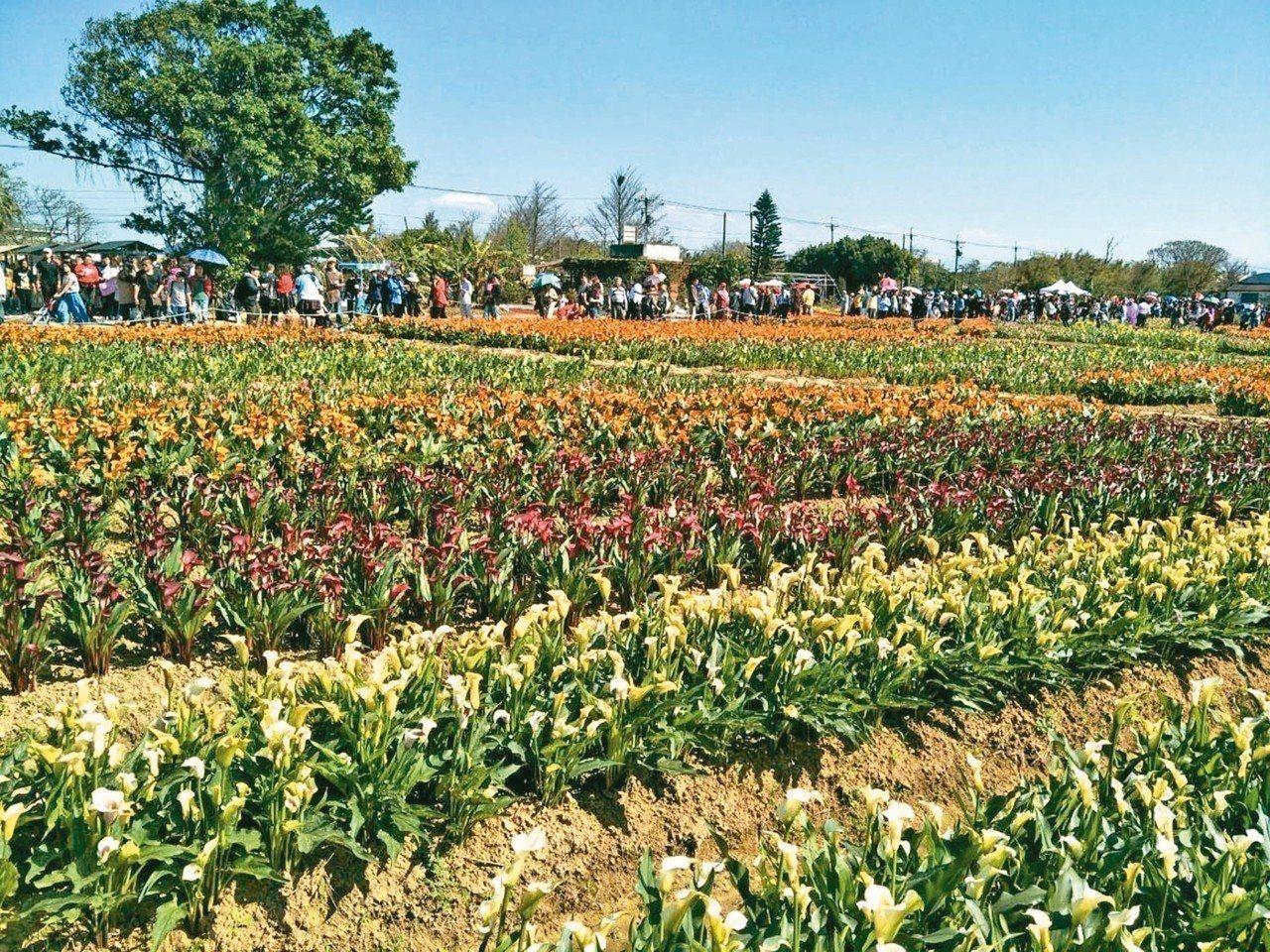桃園市大園區溪海休閒農業區去年舉辦彩色海芋節,五顏六色的海芋盛開十分美麗,吸引大...