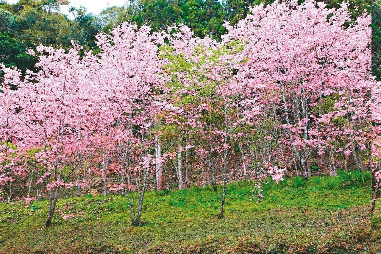 今年櫻花受到暖冬影響,開花情況較往年延遲。 圖/杉林溪提供