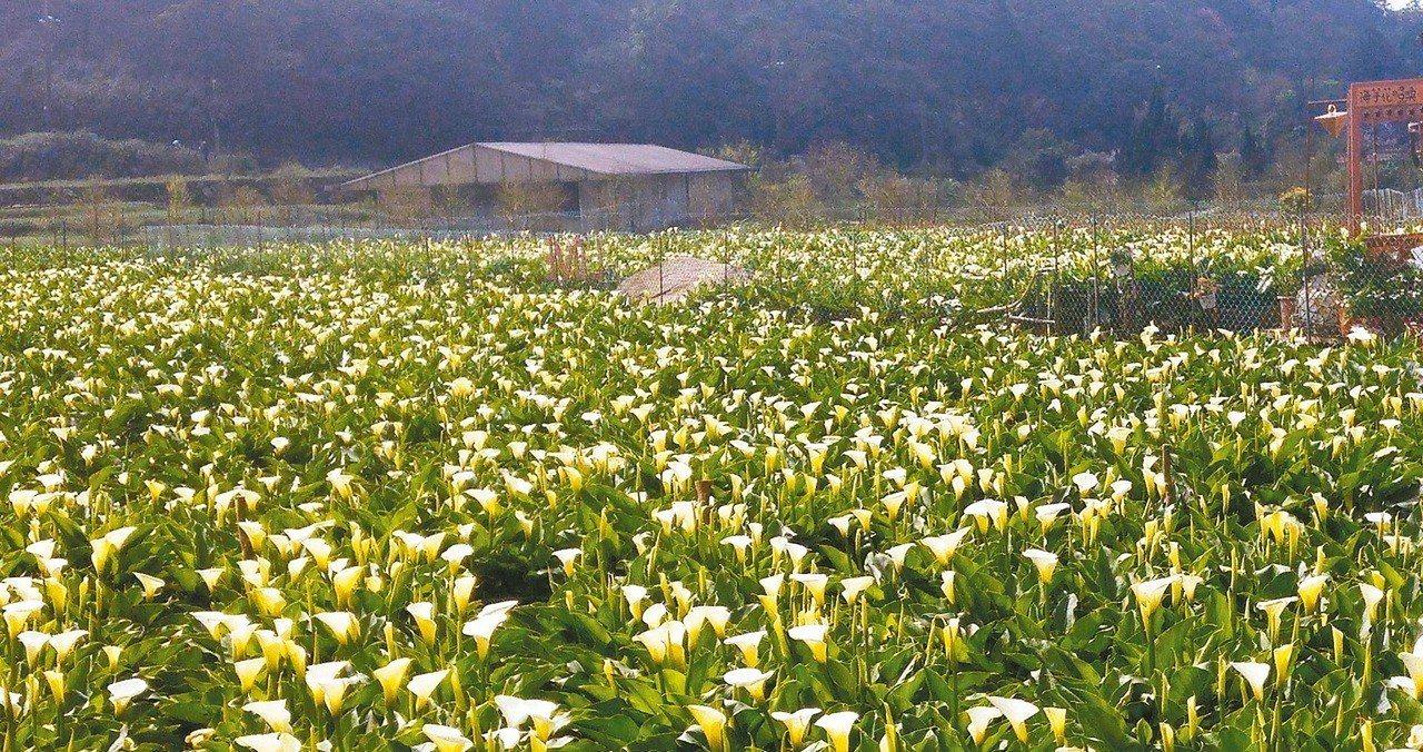 今年陽明山竹子湖海芋季預計在3月底登場。 本報資料照片