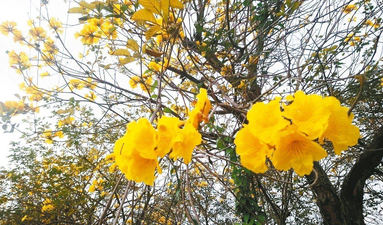 黃花風鈴木盛開,有如下起黃金花雨。 本報資料照片