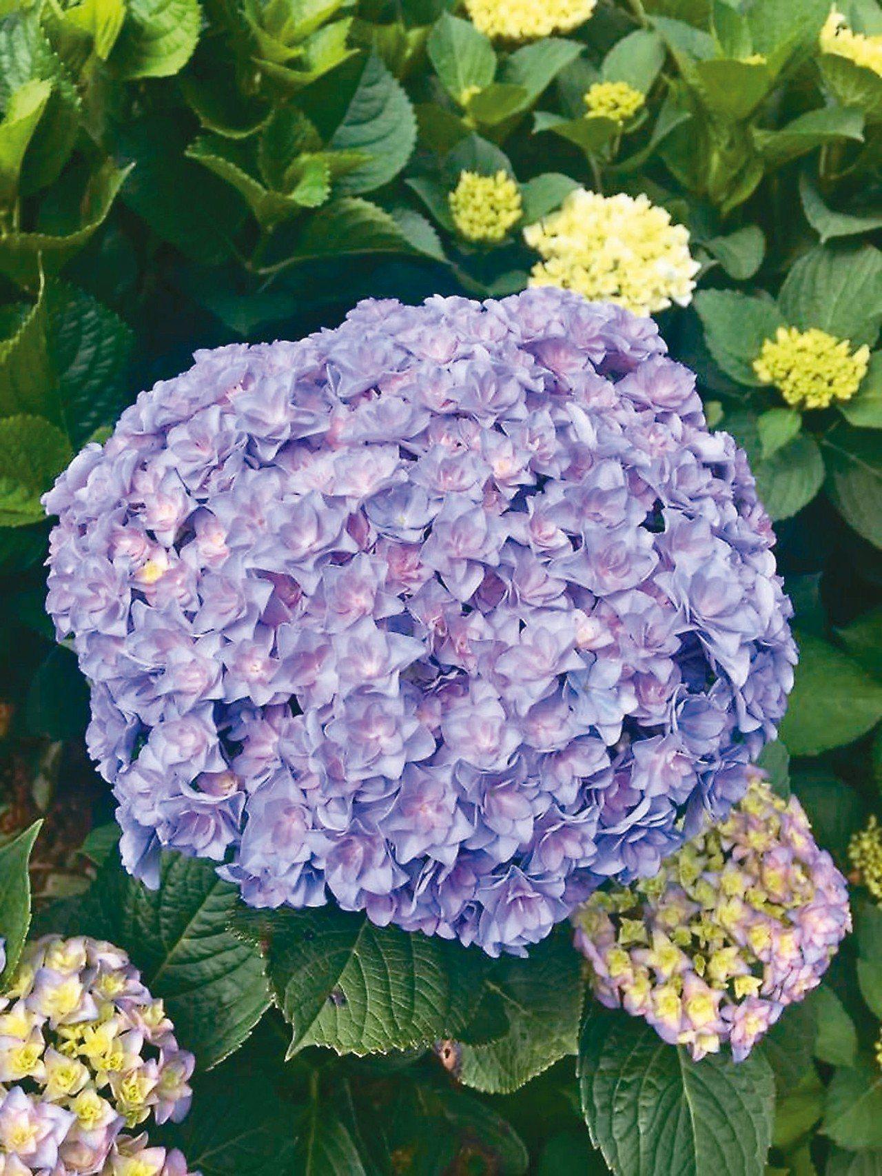 繡球花季近年來是拍照打卡必去景點。 圖/翻攝自高家繡球花田粉絲團