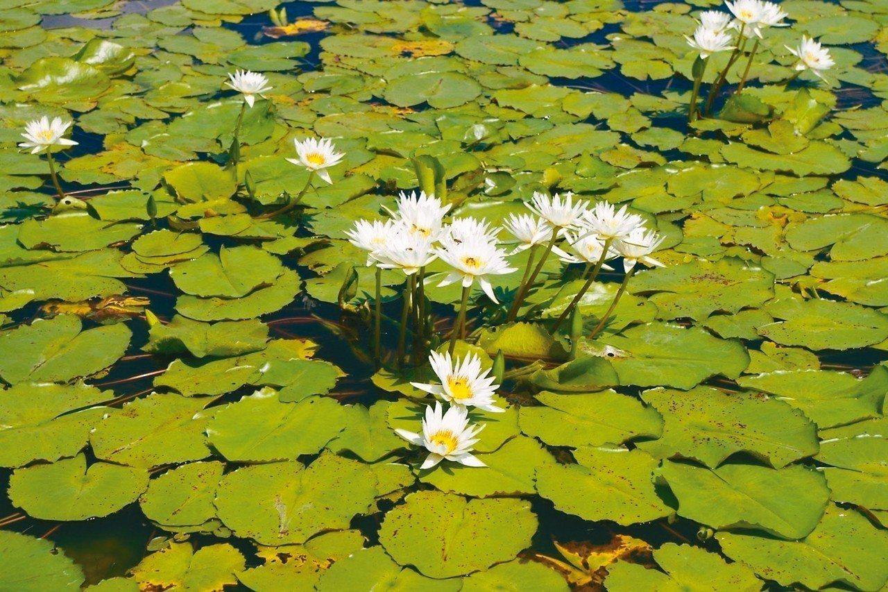白河蓮花季是每年賞蓮必去的熱門景點。 圖/白河蓮花季官方網站提供