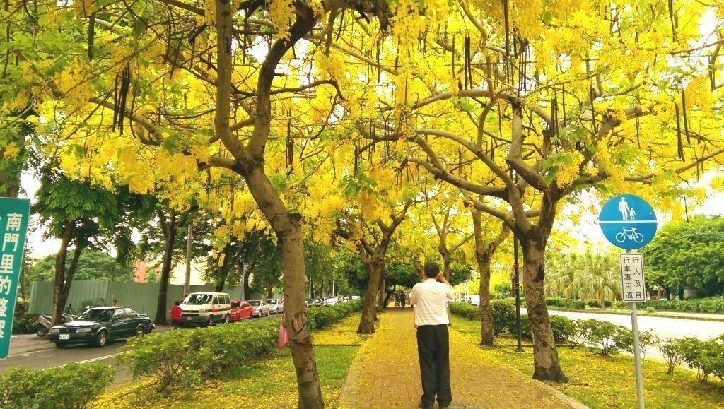 台中中興大學前綠園道阿勃勒行道樹,還被網友推薦為全國10大花道之一。 圖/台中市...