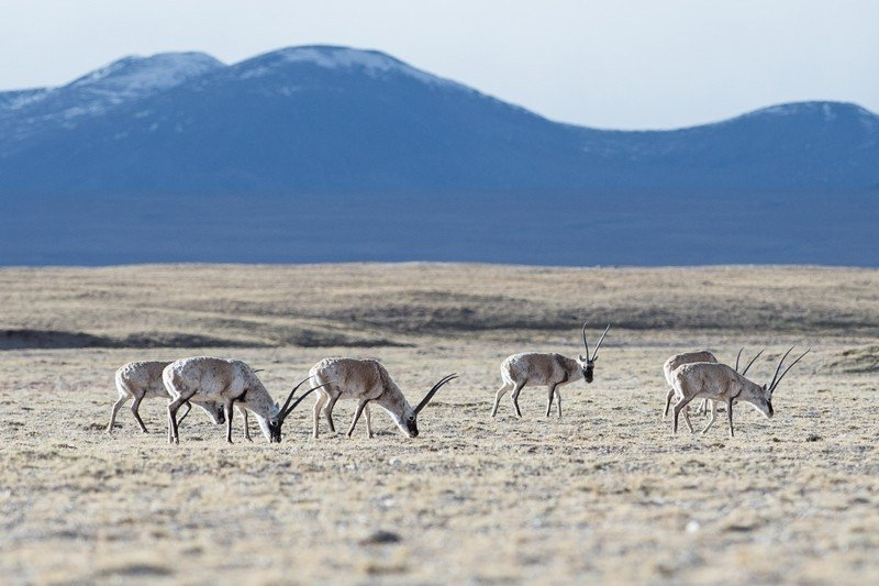 1992年因為盜獵嚴重,高原上的百萬藏羚羊竟瀕臨絕種。圖為三江源的野生藏羚羊。 ...