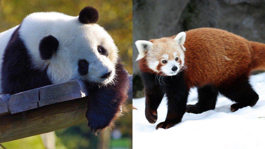 左:大熊貓、右:小熊貓。 圖片來源/pixabay