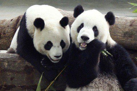 黃怡/台灣還需要更多熊貓嗎?
