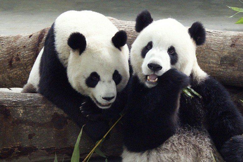 木柵動物園的熊貓團團圓圓。 圖/路透社