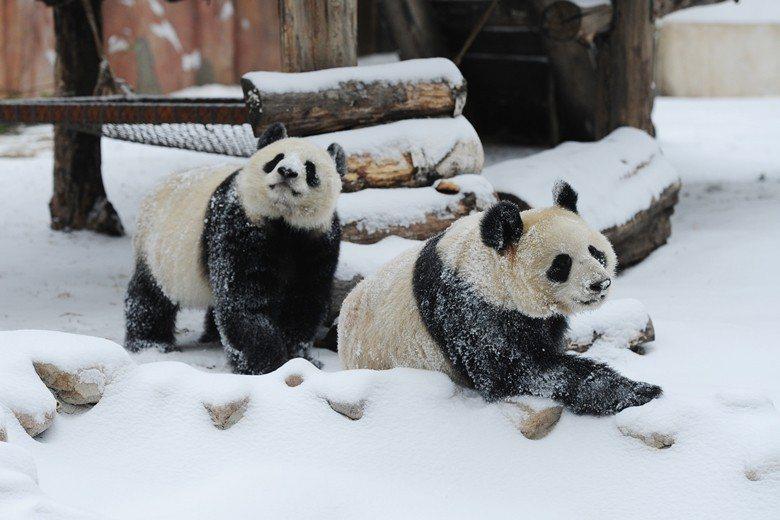 靠著成熟的復育技術,2018年熊貓初心、牧雲成為首對在長春,中國高緯度地區長期飼...