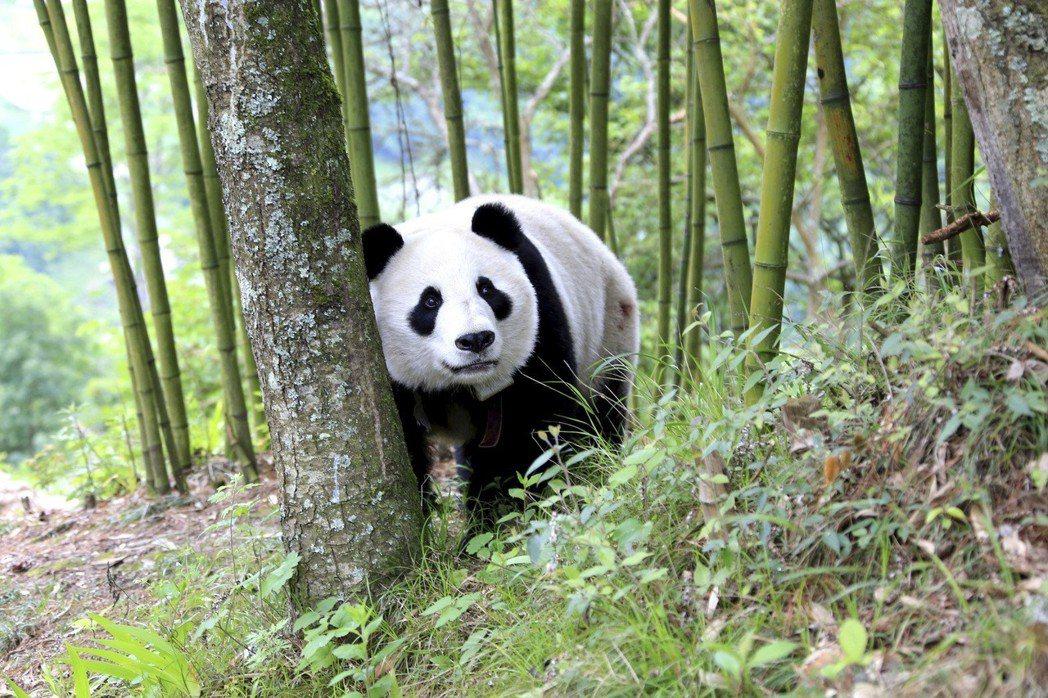 世人獨寵熊貓,卻似乎對牠們的演化歷史興趣缺缺。 圖/美聯社