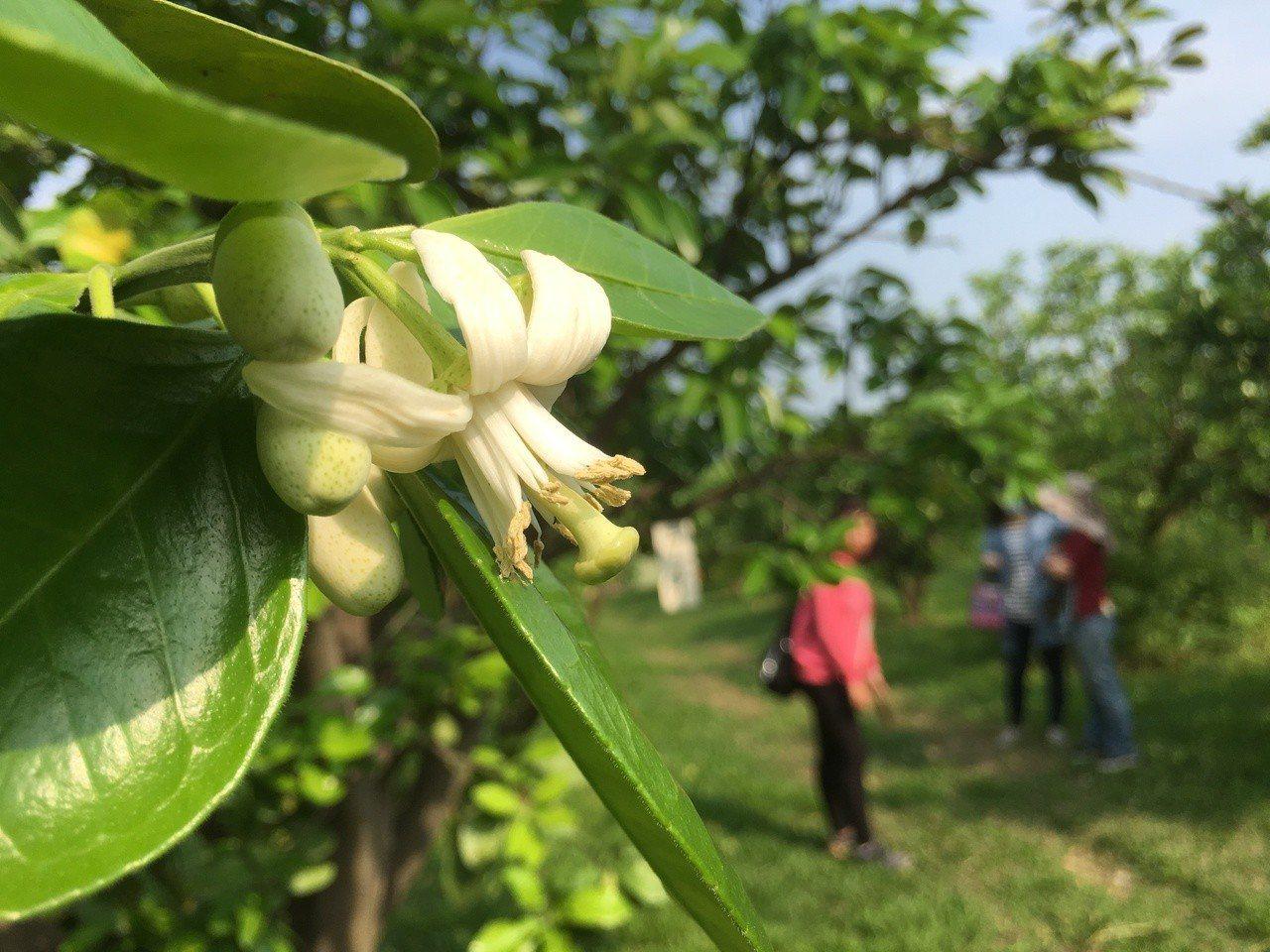 斗六市是國內文旦重要產地,每年3月柚花盛開期間,整個斗六猶如被灑了柚花香水般,為...