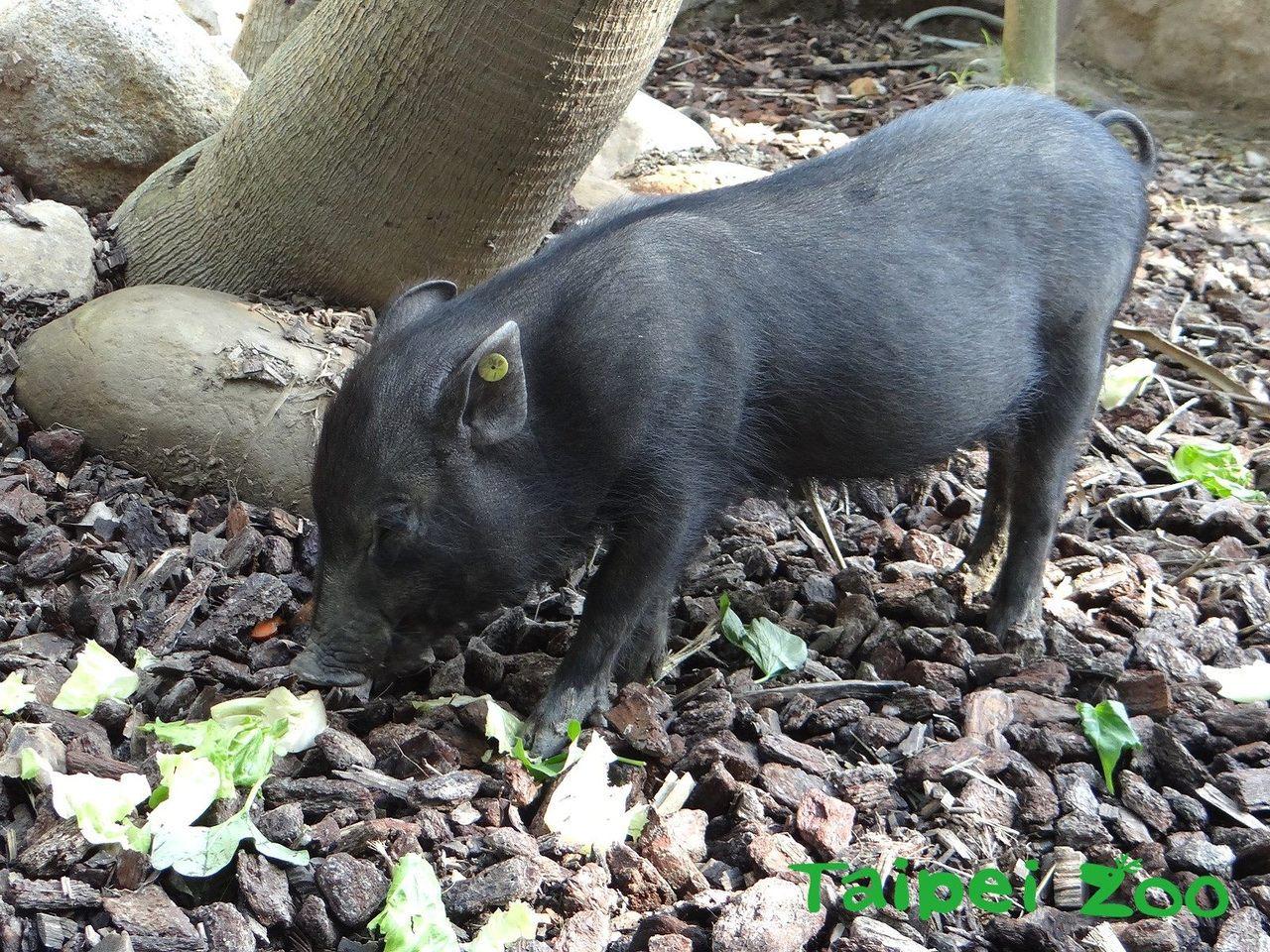 蘭嶼豬寶寶調皮又貪吃。圖/台北市立動物園提供