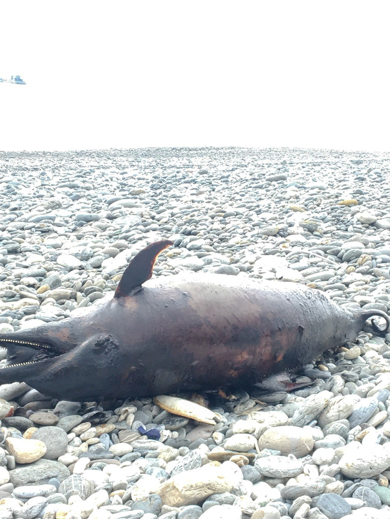 花蓮縣秀林鄉崇德海域今天近午驚見一隻瓶鼻海豚擱淺死亡。圖/海巡提供
