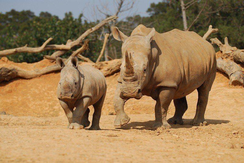 莊福文教基金會繁育全球瀕危物種犀牛成績亮眼。圖/莊福文教基金會提供