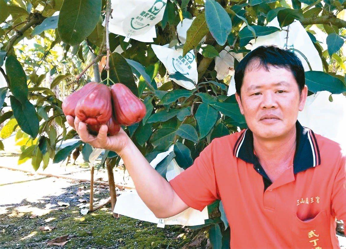 佳冬農友賴登興為創造市場區隔性,自國外引進稱為香水或巴掌蓮霧的印尼大果種,花3年...