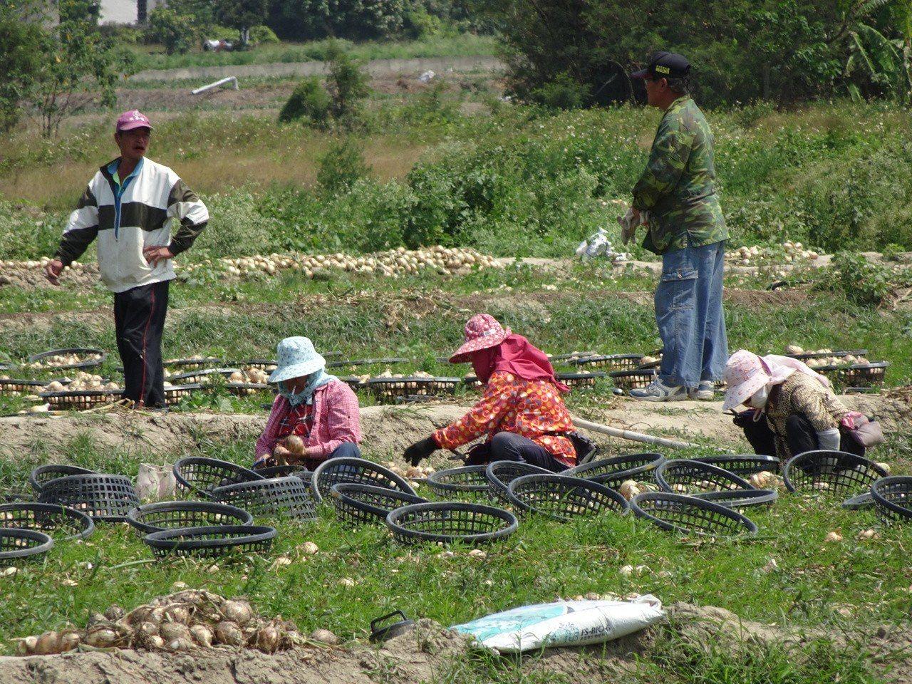 屏東縣恆春半島是國內洋蔥生產重鎮,今年受暖冬影響洋蔥歉收,雖然工資漲到每日130...