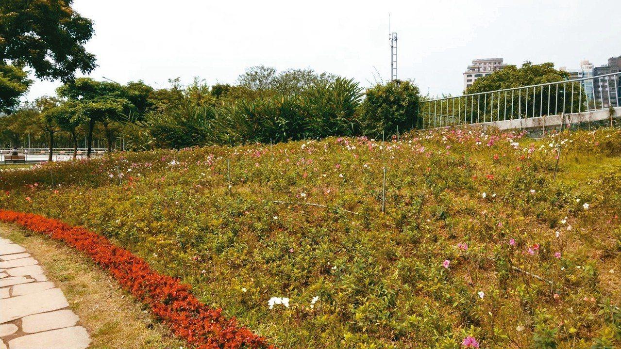 台北杜鵑花季昨開跑,大安森林公園內的杜鵑花卻開得稀稀落落。 記者楊正海/攝影