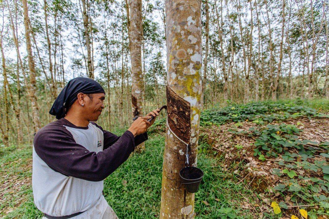說到馬來西亞,你會想到什麼?錫,或者橡膠?圖為馬來西亞沙巴的橡膠樹林園區。 圖/...