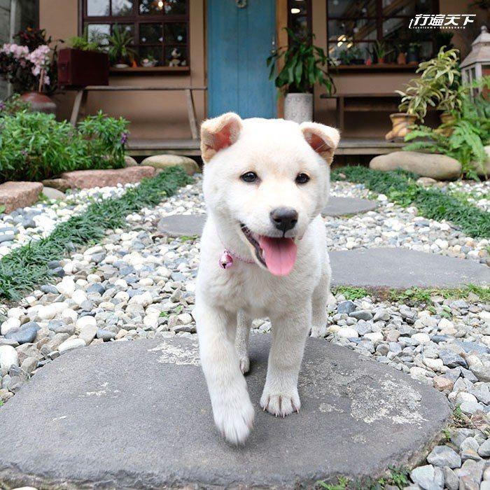小江爸飼養的萌萌白柴犬在庭院裡玩耍。