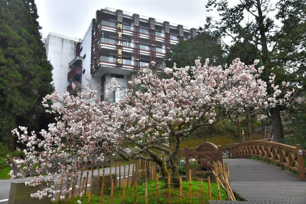 阿里山賓館前的櫻花 。圖/阿里山林鐵文處提供