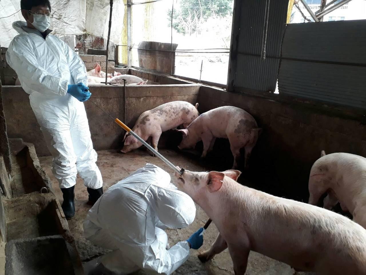 烈嶼發現的海漂豬已確認染非洲豬瘟,金門縣動植防疫所今對烈嶼全島共8個豬場進行訪視...