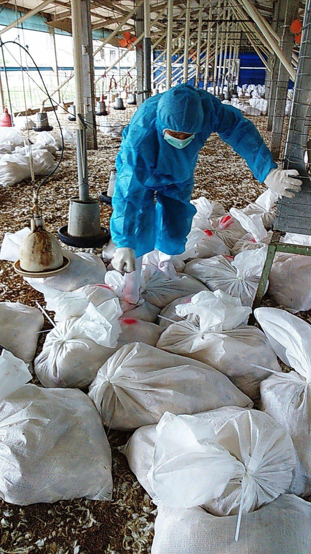 芳苑鄉有一家中型土雞場傳出禽流感疫情,防疫人員今天進場全場撲殺土雞1萬多隻。照片...