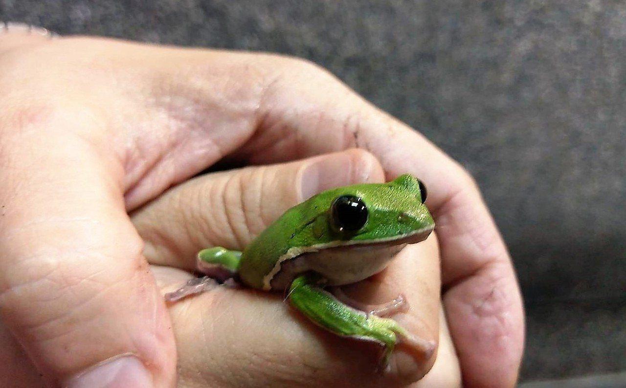 大林鎮代江明赫建議,台糖提供土地、規劃諸羅樹蛙復育,讓大林成為真正諸羅樹蛙故鄉。...