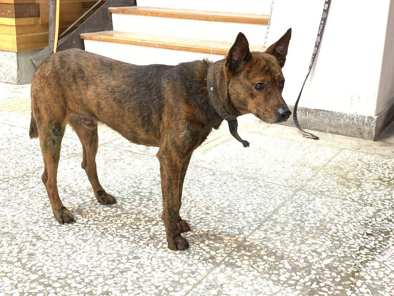 宜蘭一名83歲林姓老翁昨天到宜蘭縣動植物防疫所認養了一隻虎斑犬,要帶回家作伴當寵...