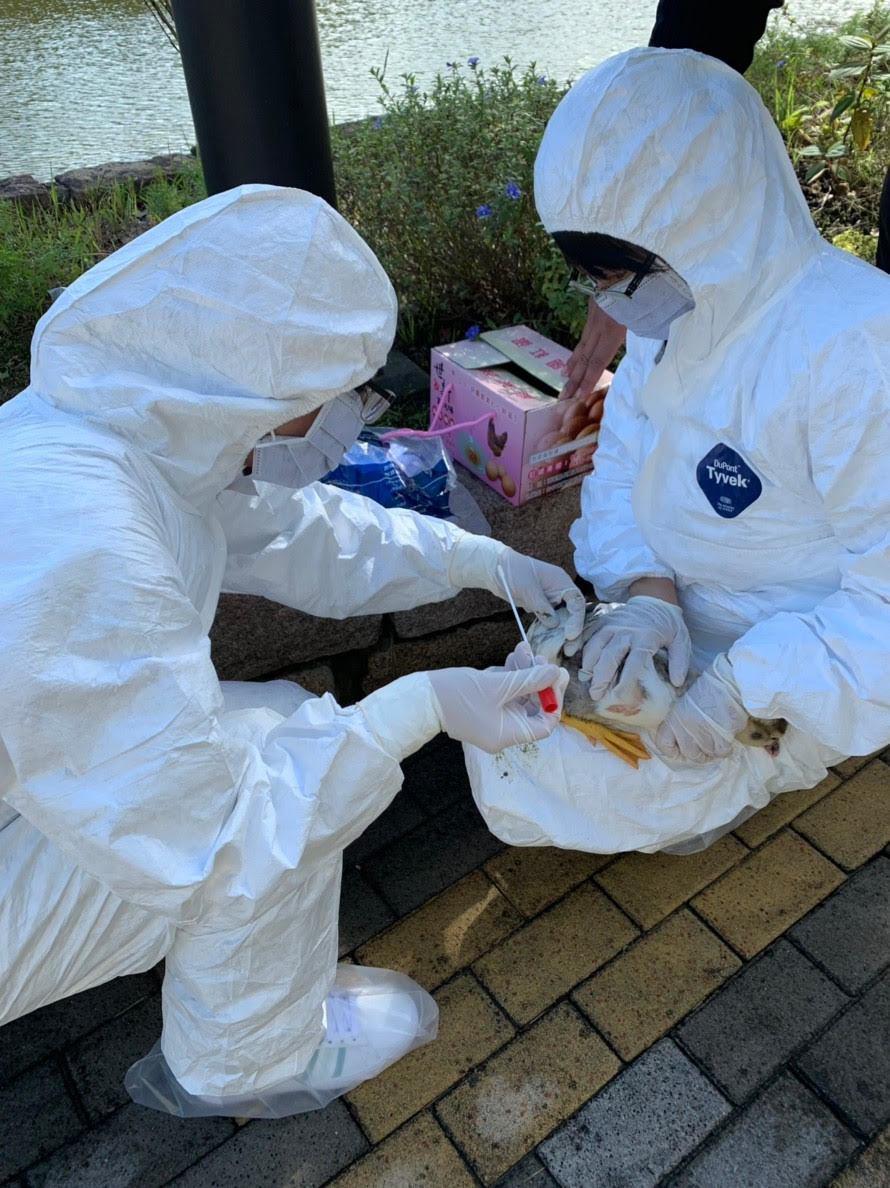 死亡禽鳥快篩檢驗,排除禽流感。圖/新北市動保處提供