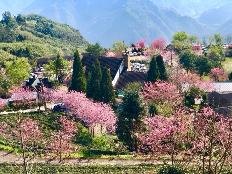 圖/冬末春初盛開的櫻花樹,添增了春意盎然之美。截至山上人家粉專。