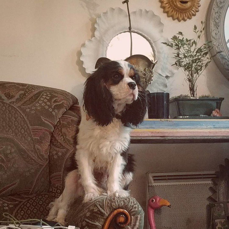 Mae Lapres的寵物查理士王小獵犬Oliver。圖/摘自IG