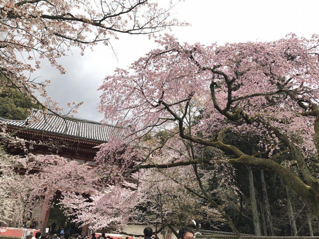 日本預測3月下旬溫度為20度上下的溫暖天氣,從南到北櫻花將陸續綻放。 圖/聯合報...