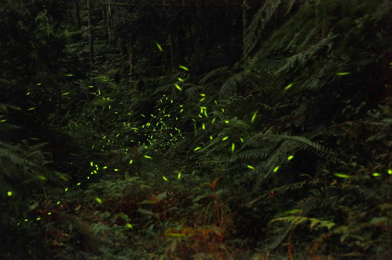 奧萬大國家森林遊樂區螢火蟲生態資源豐沛,每年4至5月的夜晚都螢光閃閃。圖/南投林...